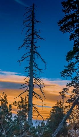 Arnold Berkman-White Birch at Sunset, California-20 x 25-$375.00